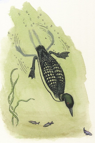 When a loon paddles underwater, the cnemial crest functions as a lever. Illustration by Denise Takahashi.