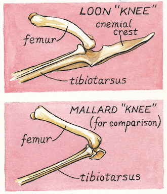 """The """"knees"""" of a loon (above) and a Mallard. Illustrations by Denise Takahashi."""
