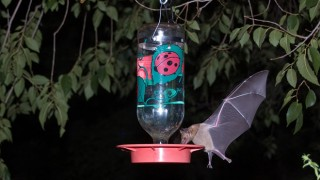 A Mexican long-tongued bat feeds at a hummingbird feeder in southeastern Arizona. Photo by Ken Bosma (Creative Commons)