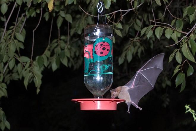 A Mexican long-tongued bat feeds at a hummingbird feeder in southeastern Arizona. Photo by Ken Bosma (Creative Commons)