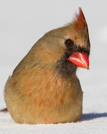 Northern Cardinal, female, by Kim Caruso.