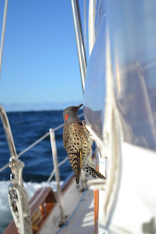 Northern Flicker 20-60 miles off the mid-Atlantic coast of the United States. Photo © LeAnn Marchman.