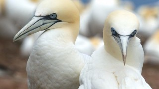 Northern Gannets on Bonaventure Island, Quebec, by Charles Gangas.