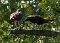 Osprey_Fledgling