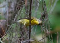 Prairie-Warbler1