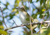 Red-eyed-Vireo1