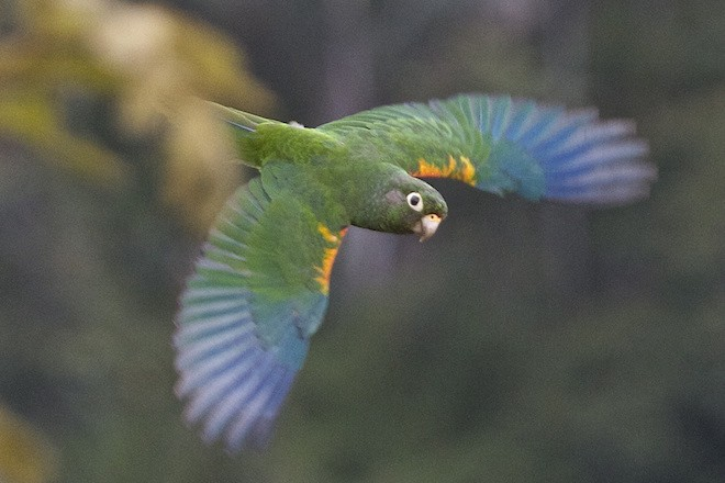 Santa Marta Parakeet is one of 19 endemic bird species found in Colombia's El Dorado Reserve. Photo by Andy Bunting.
