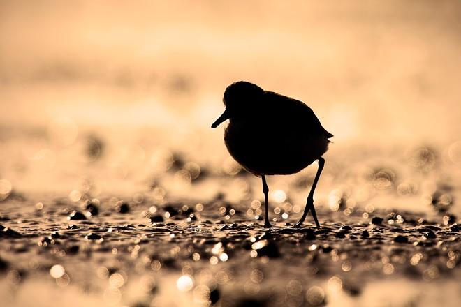 Semipalmated Sandpiper ©2015 Santosh Shanmuga