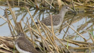 Solitary-and-Yellowlegs