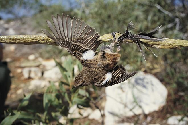 A Stonechat struggles on a lime stick on Cyprus. Photo by Guy Shorrock/RSPB
