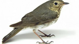 Swainson's Thrush in North Dakota, May 8, 2009, by Matt Reinbold, Bismarck, ND, USA (Wikimedia Commons).