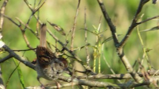Swamp-Sparrow-@-PH