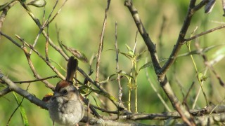 Tail-up-Sparrow