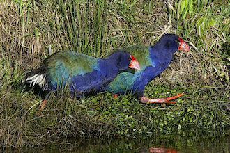 Takahē released on Maungatautari Mountain, Waikato district, North Island, New Zealand.