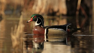 Wood_Duck_Drake_Gem