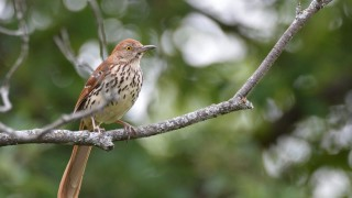 brown-thrasher-small