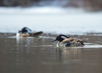 hooded-merganser2-small