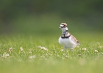 killdeer3-small