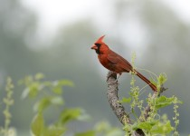 northern-cardinal-small
