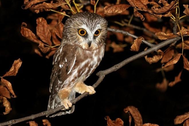 saw-whet-owl-Saunders