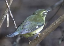 9E6A9758-Black-throated-Blue-Warbler-Female-Montrose-DPP-HP