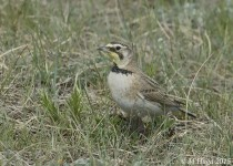 Horned Lark, female, Grasslands National Park, Saskatchewan