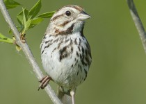 Song Sparrow, Donna Birkmaier Park, Saskatoon, Saskatchewan