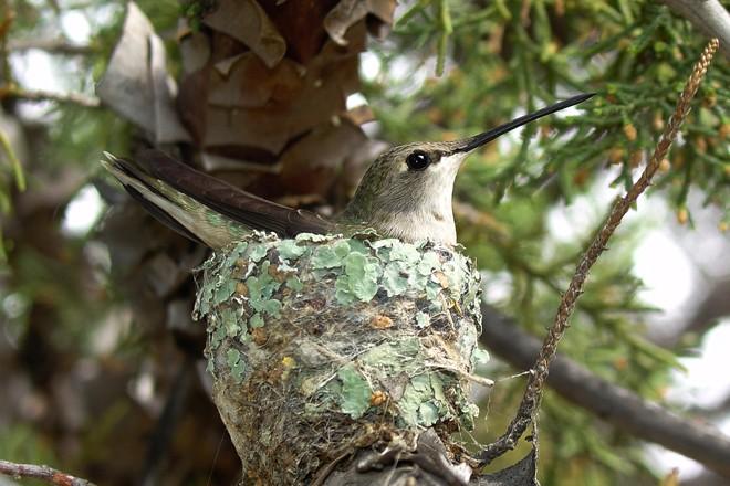 Black-chinned-Hummingbird-Greeney