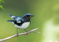 Black-throated Blue Warbler September 5, 2015, by Diane Doran.