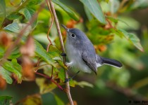 Blue-grey-Gnatcatcher