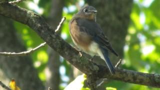 Bluebird-NY-State