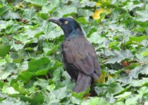 Common-Grackle-image
