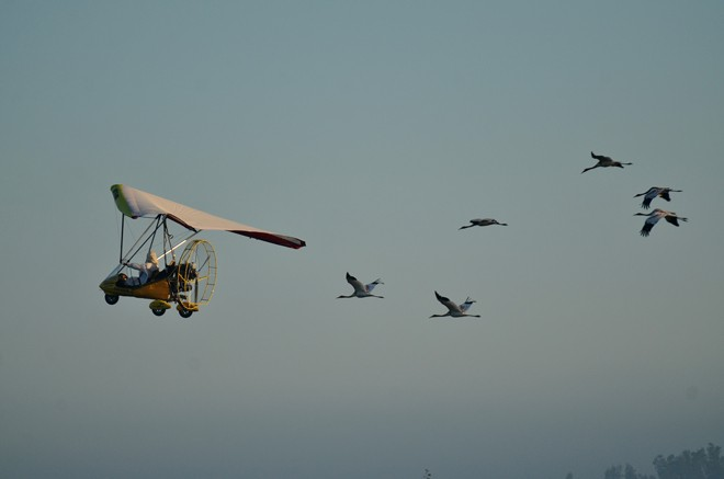 Six juvenile Whooping Cranes train with an ultralight aircraft in August 2015. Photo courtesy Operation Migration