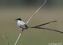 Fork-tailed Flycatcher, Piiuval Lodge, Pantanal, Brazil