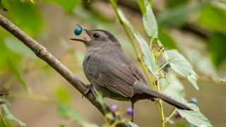 Gray Catbird in Rockville, Maryland. Photo by Jonathan Hoiles