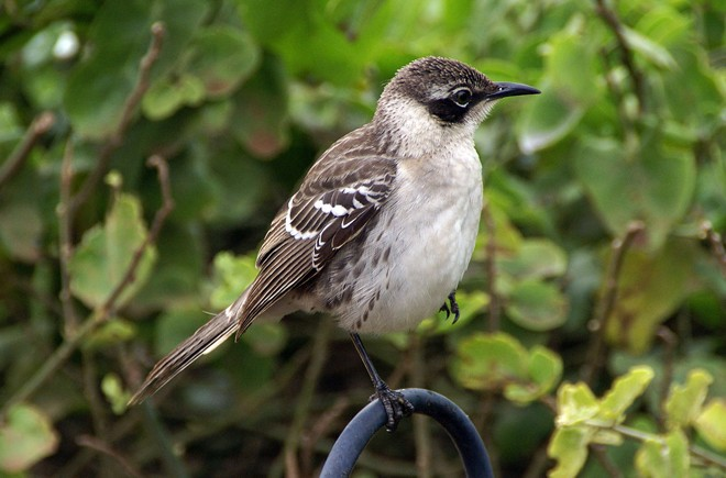 Galapagos Mockingbird is one of a few bird species that is known to drink blood. Photo by putneymark (Creative Commons)