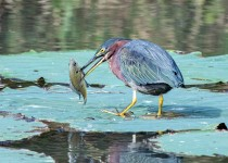 Green-Heron-with-Fish
