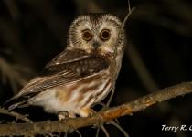 Saw-Whet-Owl-031-smm