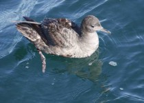 Short-tailed-Shearwater-1