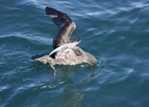Short-tailed-Shearwater-2