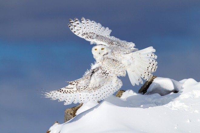 Snow Owl wings spread_660x440