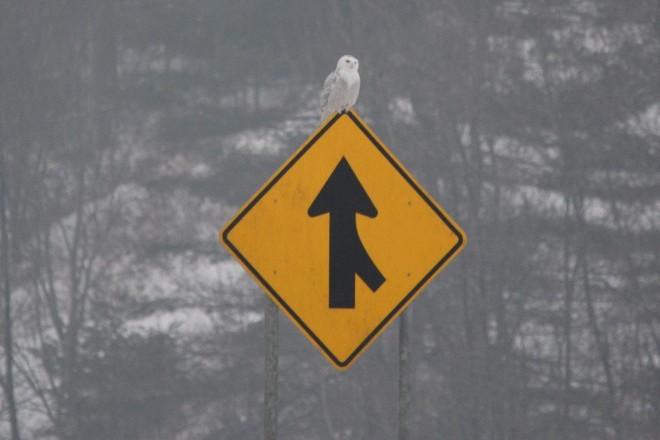 Snowy OWl merge sign_660x440