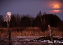 Snowy-Owl-13-2011-134-LR1BXNRSM-1