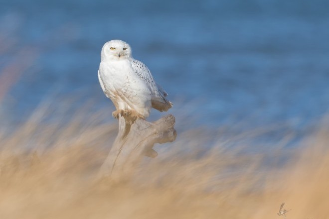 Snowy Owl behind grass_660x440