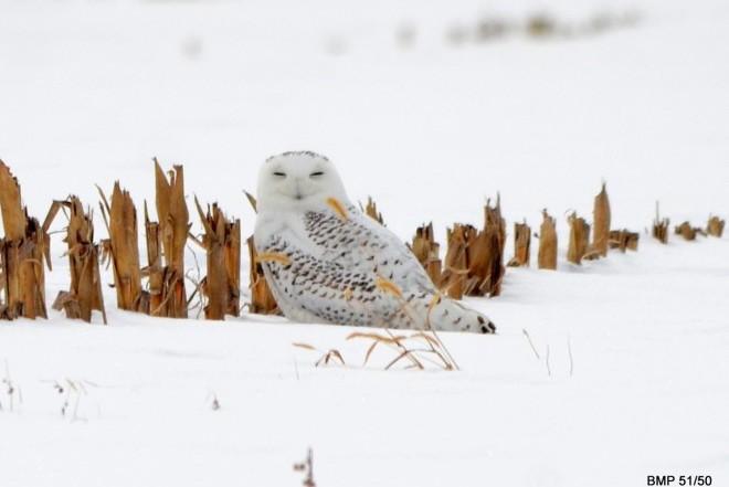 Snowy Owl in snow_660x440