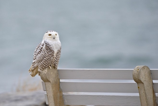 Snowy Owls are enigmatic and irruptive. This one was at Rye Harbor State Park in Rye, New Hampshire.