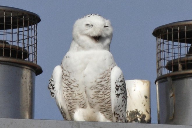 Snowy Owl on roof_660x440
