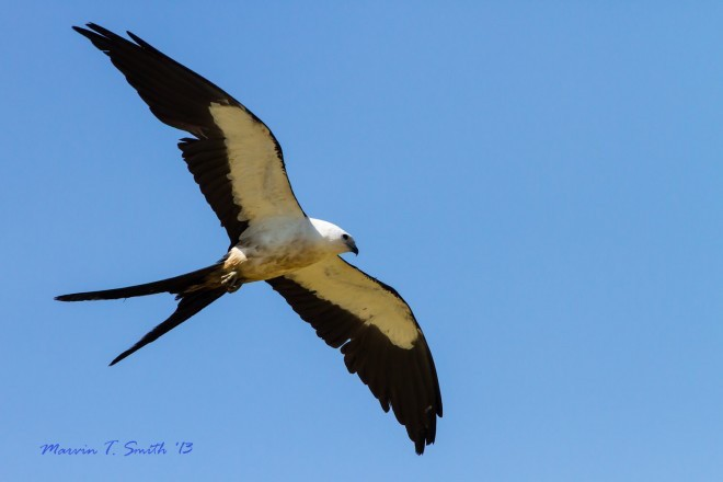 Swallow-tailed Kite in Jefferson County, Florida, by Marvin Smith.