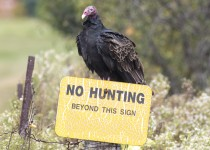 TV-no-hunting-turkeyvulture_0116