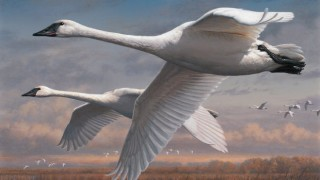 Trumpeter Swans, by Joseph Hautman, of Plymouth, Minnesota, winner of the 2015 Federal Duck Stamp art contest. Courtesy U.S. Fish and Wildlife Service.